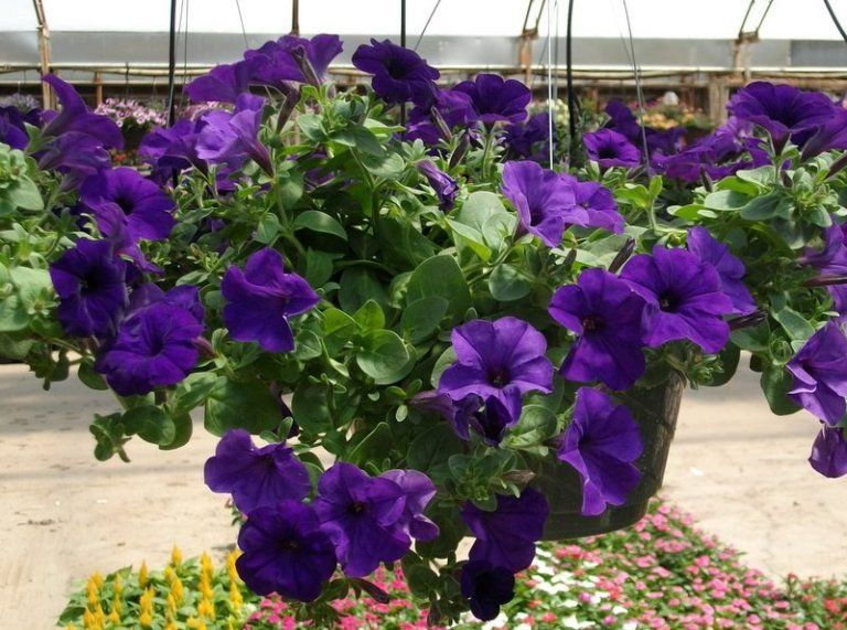 Purple wave pentunia plant will blossom all summer long