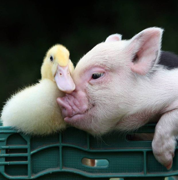 10 pigs who will make you feel better about this wet