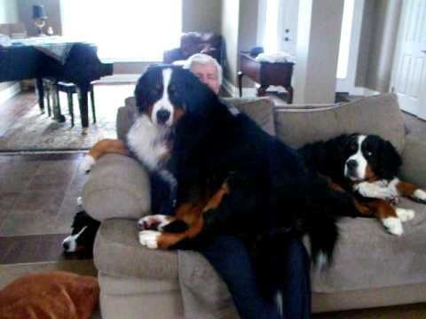 Bernese Mountain dog Coco thinks she is a lap dog - YouTube. Is this your dog Whitney?