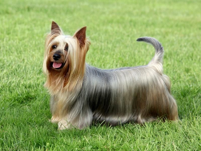 Australian Silky Terrier Stock Image In 2020 Australian Silky Terrier Silky Terrier Dog Breeds That Dont Shed