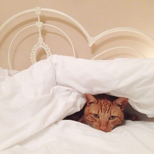 The Fox In The Attic Ginger Cats Cats Nighty Night