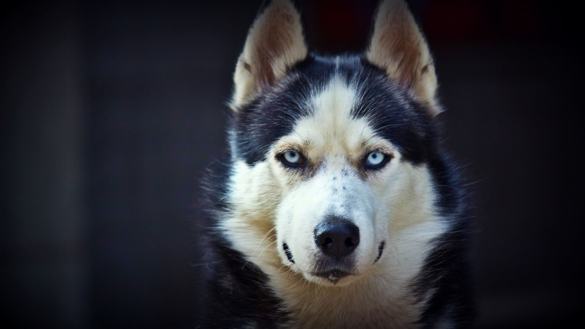 siberian husky wallpapers android apps on google play 1920×1080
