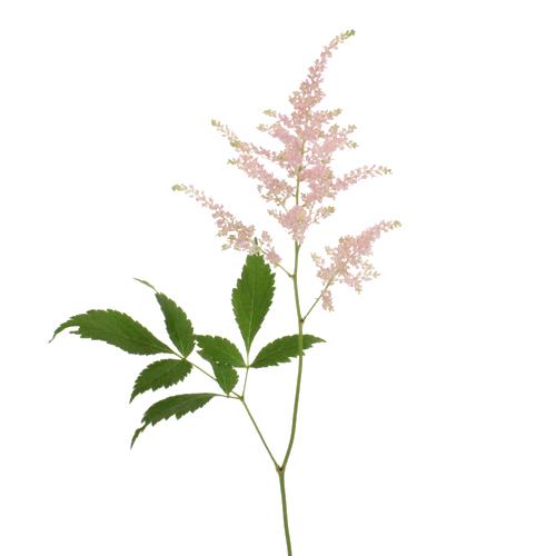 White Astilbe Flower Fiftyflowers Com In 2020 Astilbe Flower Pink Flower Painting Astilbe