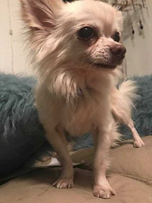 Pictures Of Bear A Chihuahua For Adoption In New York Ny Who