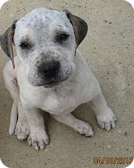 Lincolndale Ny American Bulldog English Setter Mix Meet Roxie
