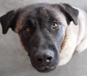 Bonnie Is An Adoptable Tibetan Mastiff Dog In Mankato Mn Hello My Name Is Bonnie I Arrived At Rrps As A Stray With My Tibetan Mastiff Dog Mastiff Dogs Dogs