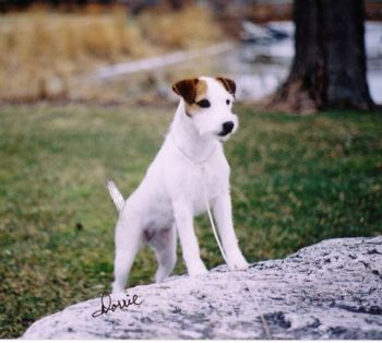 Fox Valley Parson Russell Terriers Adults Jack Russell Dogs