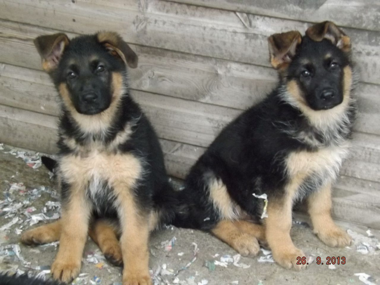Pictures Of Black And Tan German Shepherd Puppies Ideas