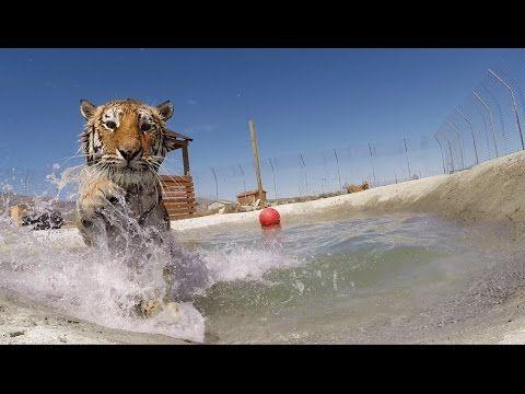 Tigres rescatados nadando por primera vez  <3 son tan dulces