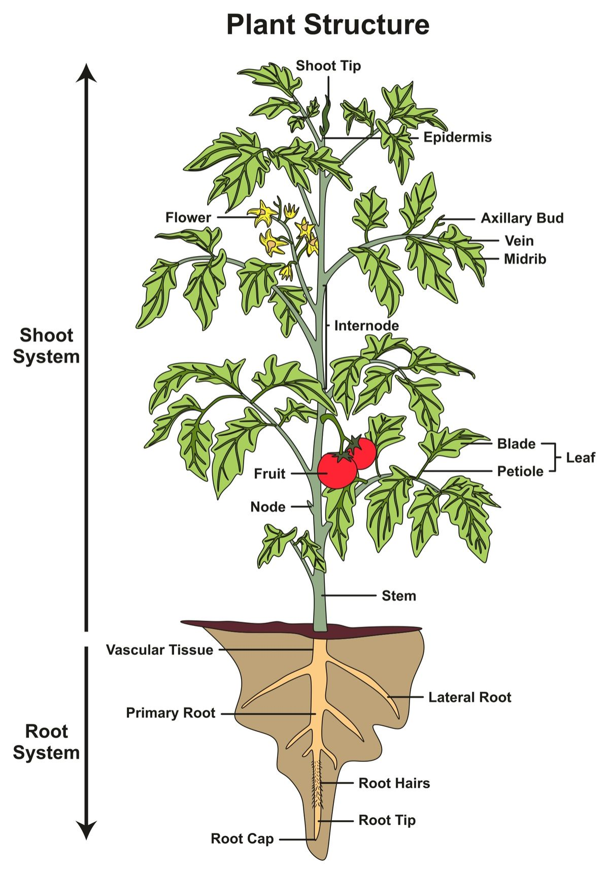 hight resolution of plant structure