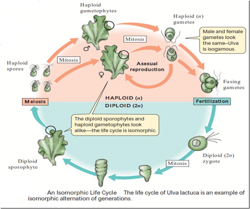 Isomorphic Diplohaplontic Life Cycle Plant Life Cycle Life Cycles Life