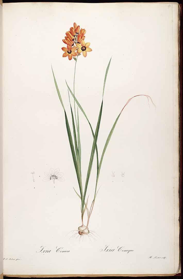 37297 Ixia maculata L. [as Ixia conica Salisb.]  / Redouté, P.J., Les Liliacées, vol. 3: t. 138 (1805-1816) [P.J. Redouté]