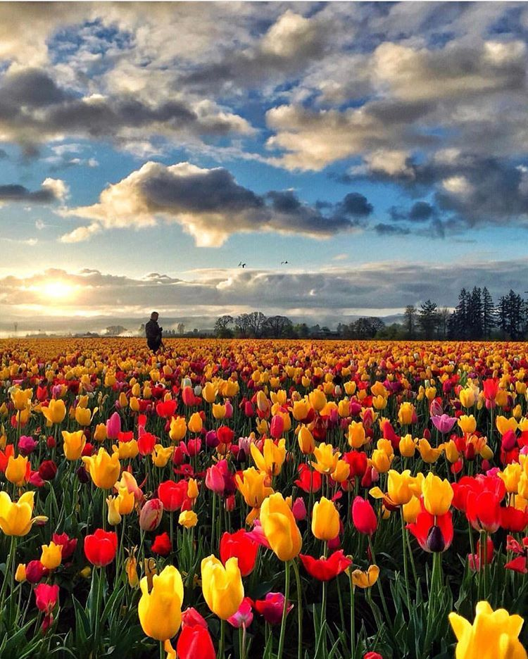 Wooden Shoe Tulip Farm Oregon Usa America Tulip Flower Park Garden Travel Tourist Attraction Sightseeing Spot Tulips Nature Photography Earth Pictures