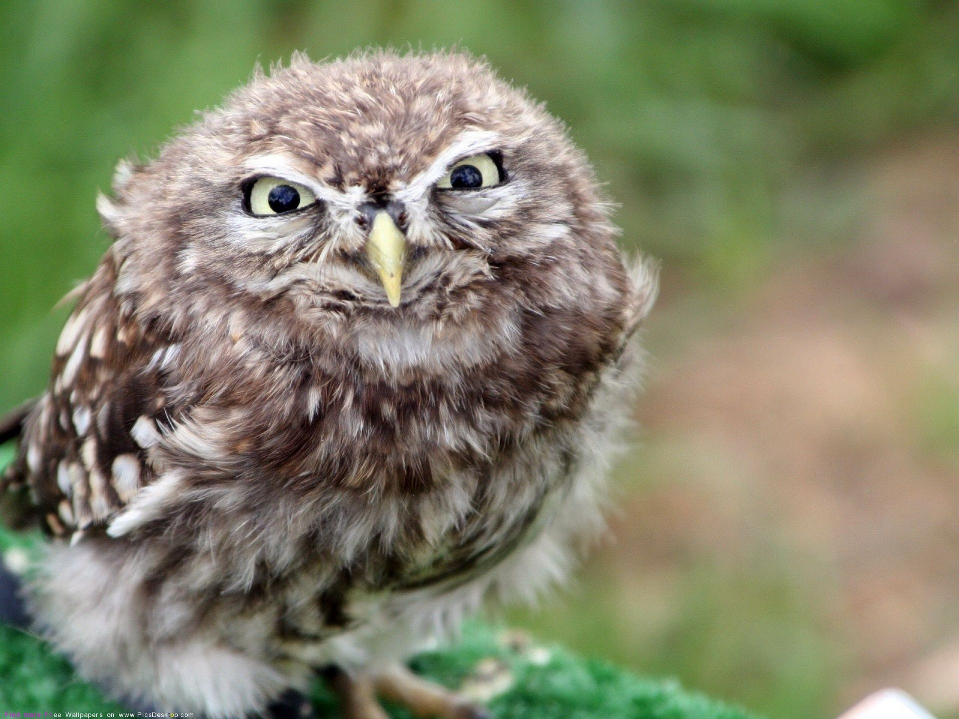 Angry owl (wallpaper). Lustige eulen, Ausgestopftes tier