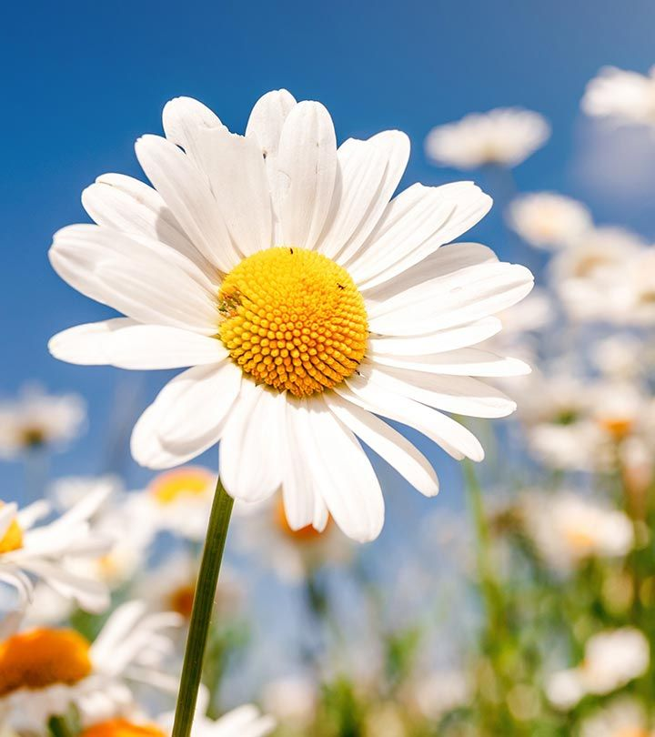 Daisy flowers depict purity and innocence. These perennial blooms occur in many varieties. Have a look at these pictures of daisies along with their brief descriptions.