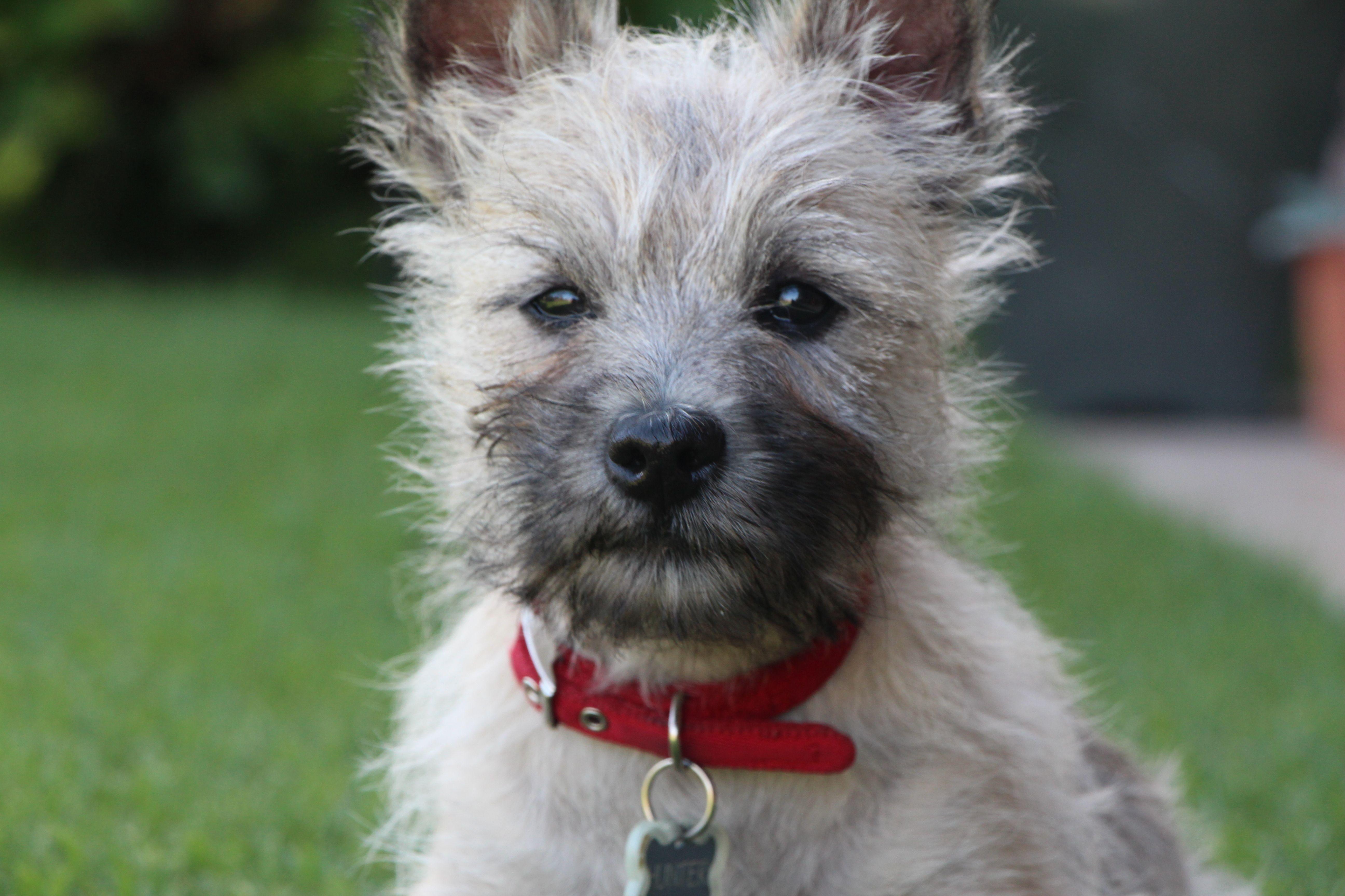 Cairn Terrier Pup Cairn Terrier Puppies