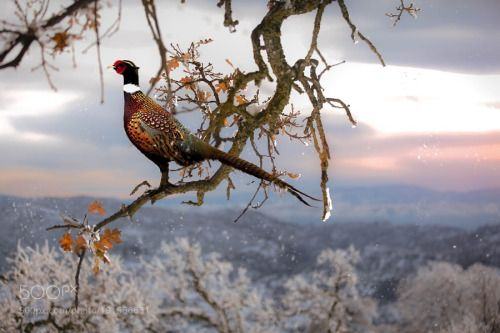 Pheasant by ThaiPhungChupAnh  leaves sky landscape forest mountains winter bird cold travel sun clouds tree animal white snow moun