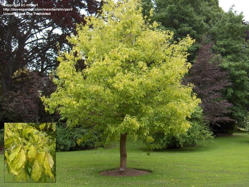 Kelly S Gold Boxelder Maple Fast Grower To 15 To 20 Ft Tall And Wide Dramatic Chartruse Foliage Col Fast Growing Shade Trees Shade Trees Colorado Landscaping