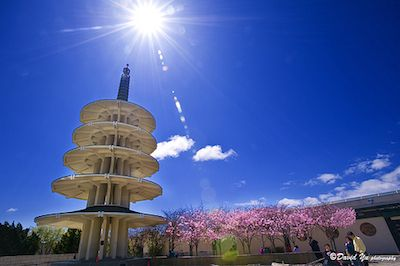 Cherry Blossoms In Japantown San Francisco Cherry Blossom Festival Leaning Tower Of Pisa San Francisco Bay Area