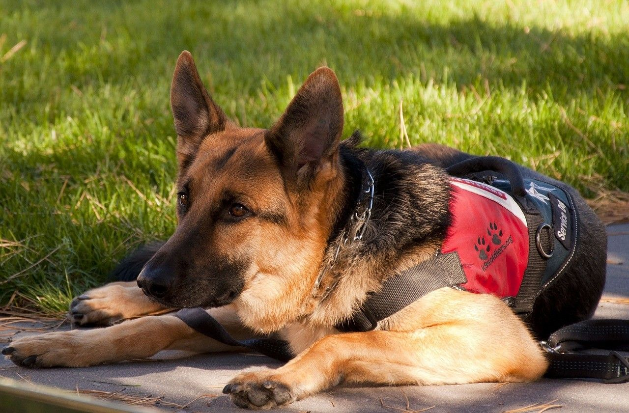 How To Train A Service Dog For Depressionhow To Train A Service