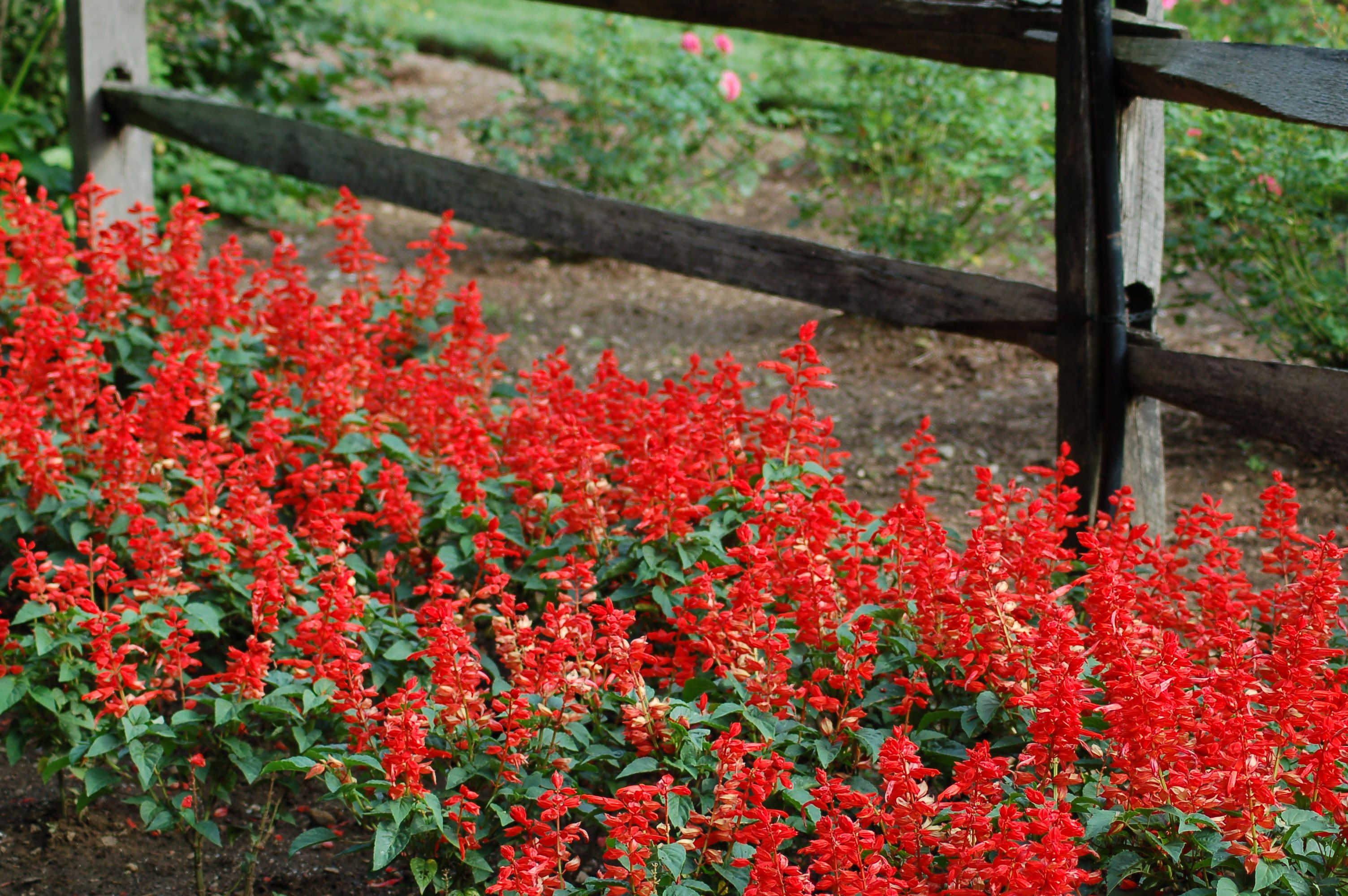 Salvia Spells Summertime Salvation For Cravers Of Color Salvia