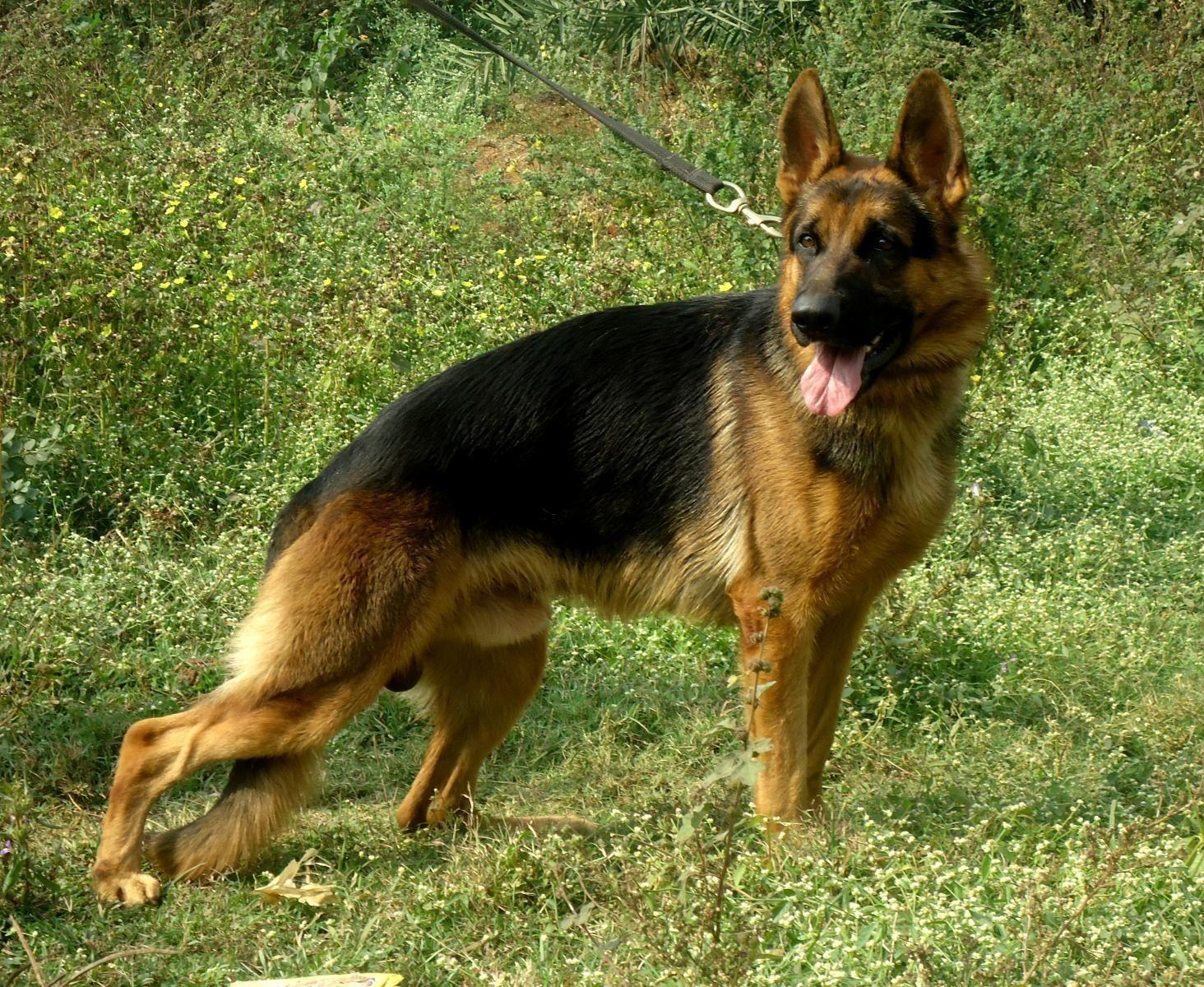 German Shepherd German Shepherd Price In India German Shepherd