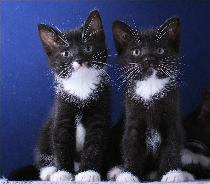 Two Black And White Kittens Kittens Cutest Cute Cats And Kittens Cute Cats