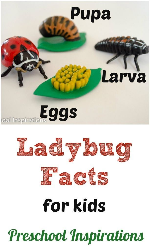 Ladybug Facts for Kids   Facts for kids, Preschool bug ...