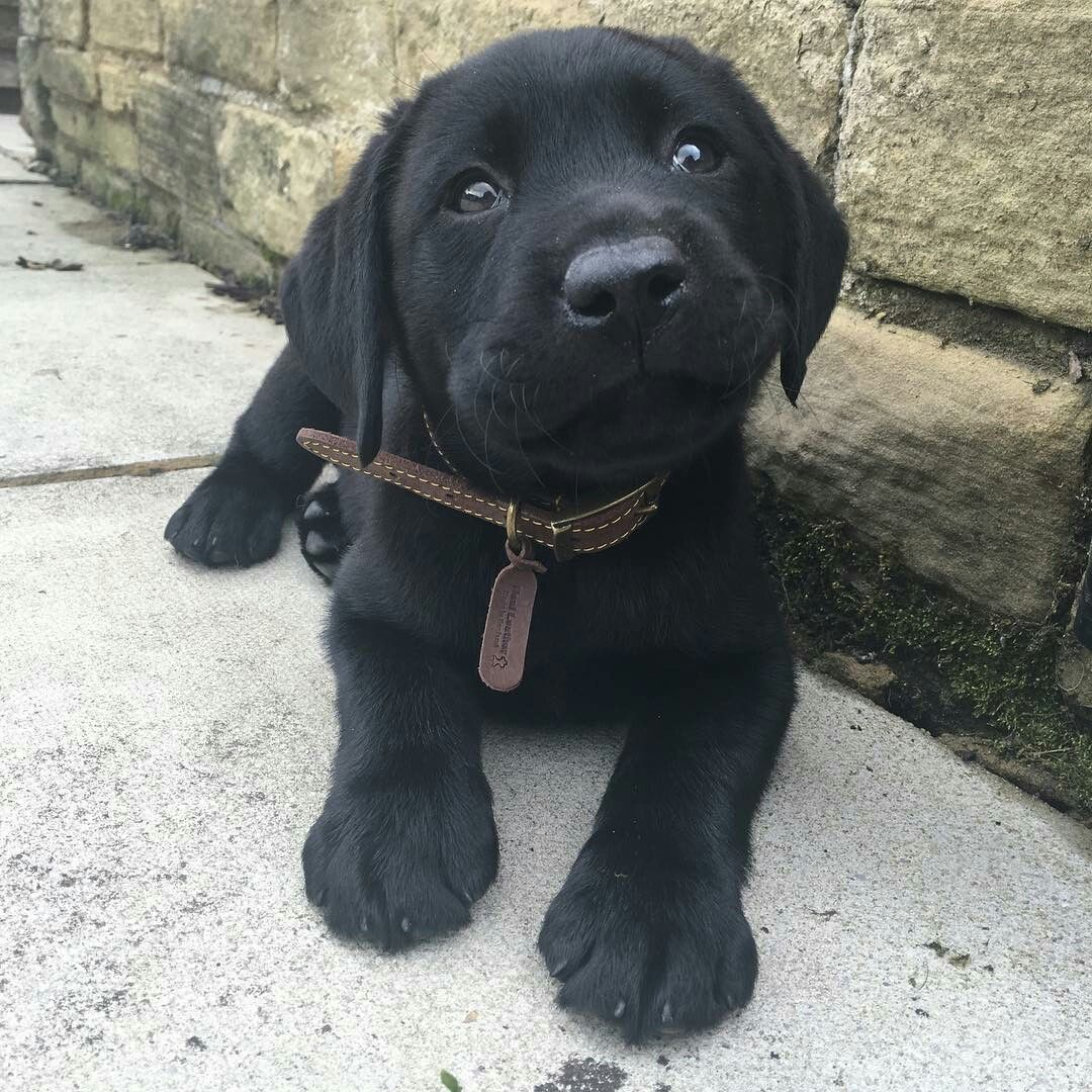 Omg A Dor A Ble Puppies Cute Animals Lab Puppies