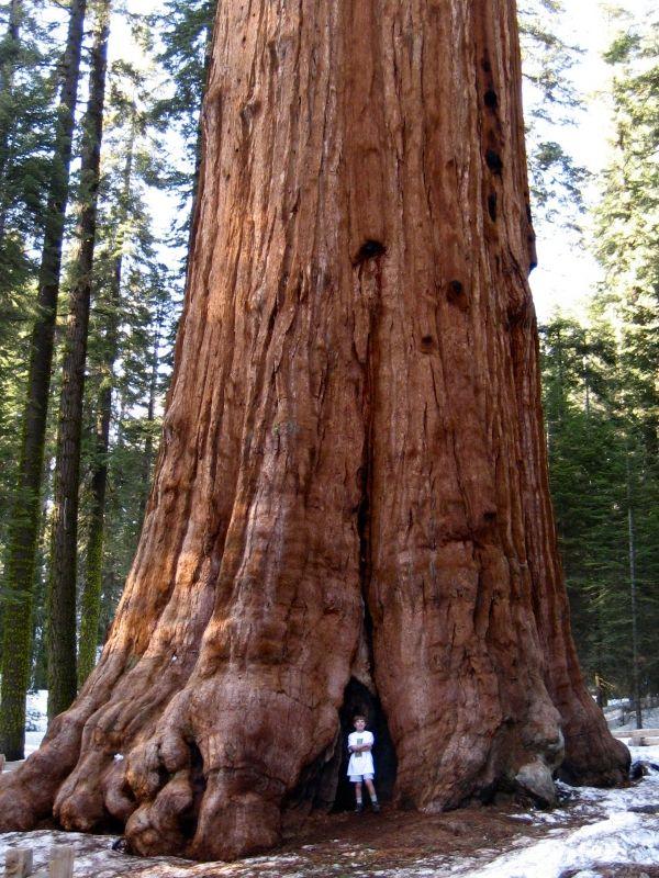 04090 Jpg 600 800 Giant Sequoia Trees Sequoia Tree Old Trees