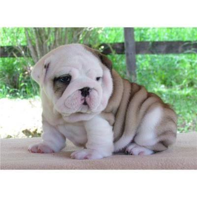 Ratedesi Com Ratedesi Resources And Information Bulldog Puppies English Bulldog Puppies Puppies