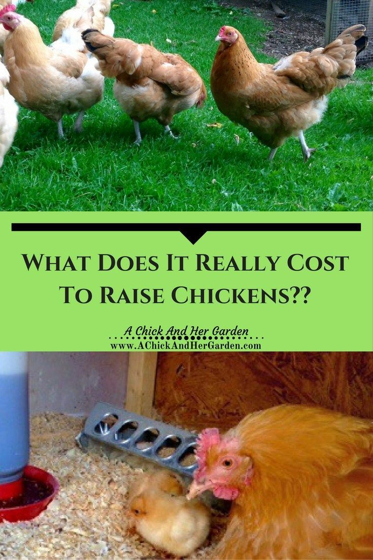 reality of the expenses of raising chickens raising homesteads
