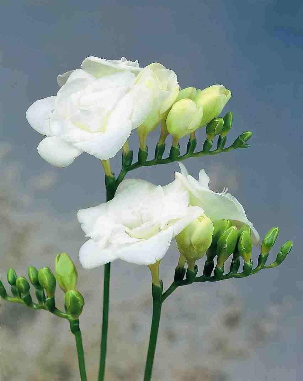 Freesia Versailles Double Bloom White Freesia Fresh Cut Flower