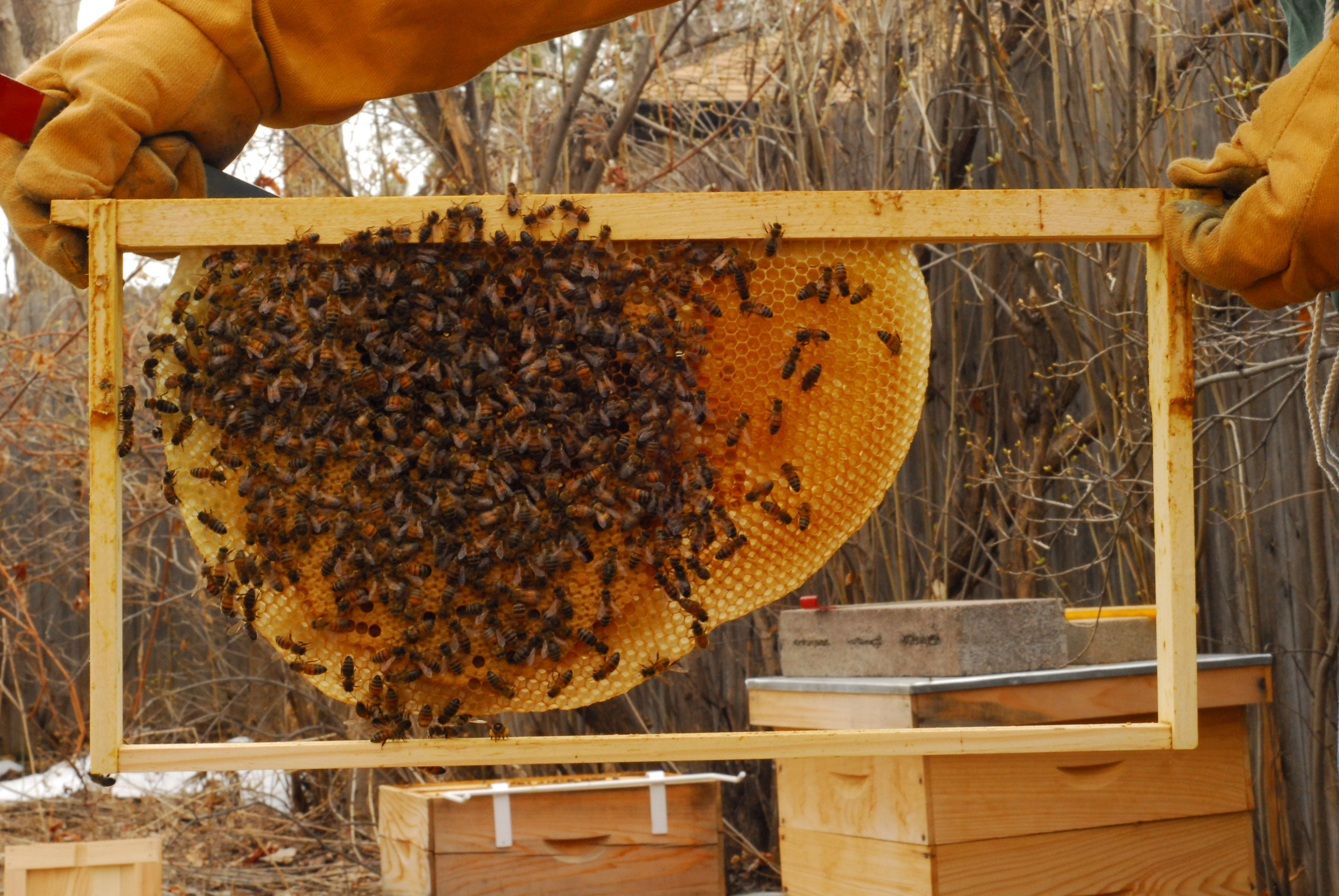Foundationless Beekeeping: How to convert to natural ...