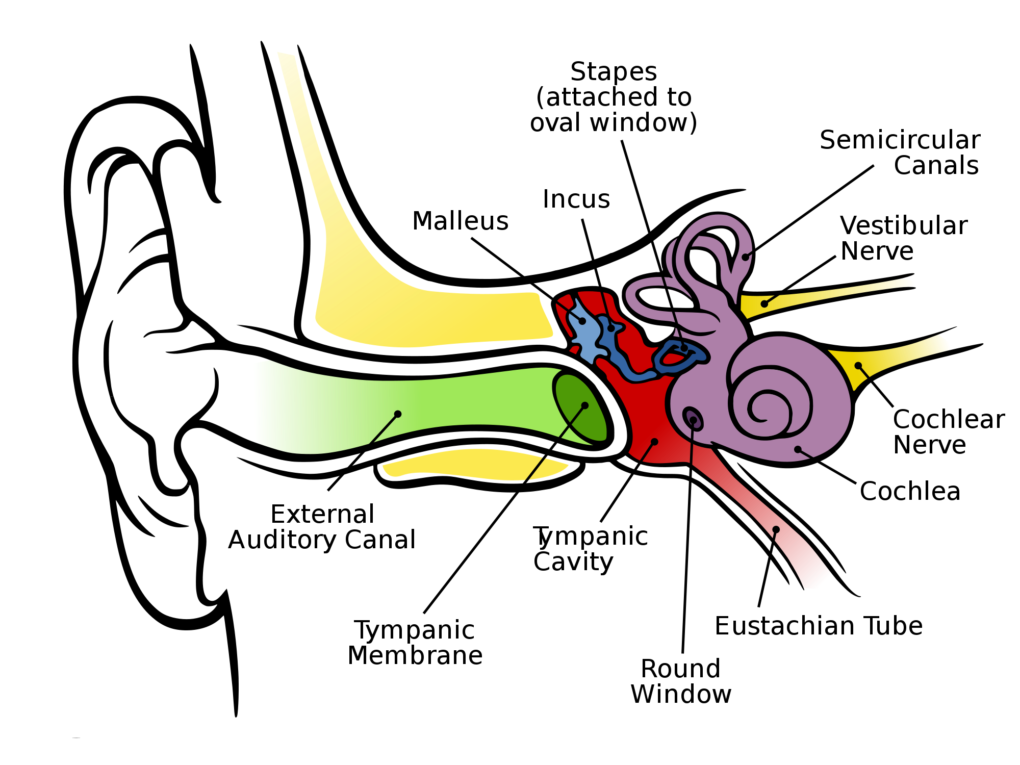 Ear Diagram Simple