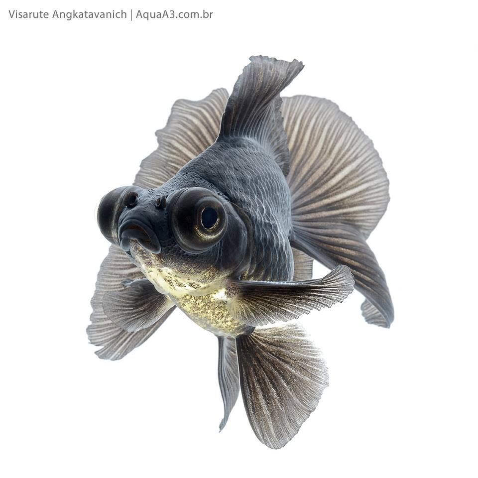 Aquarismo AquaA3 Like This Page · Yesterday ·    Confira a galeria completa https://www.aquaa3.com.br/2016/04/peixe-kinguio-sua-beleza-por-visarute-angkatavanich.html  - Imagens autorizadas