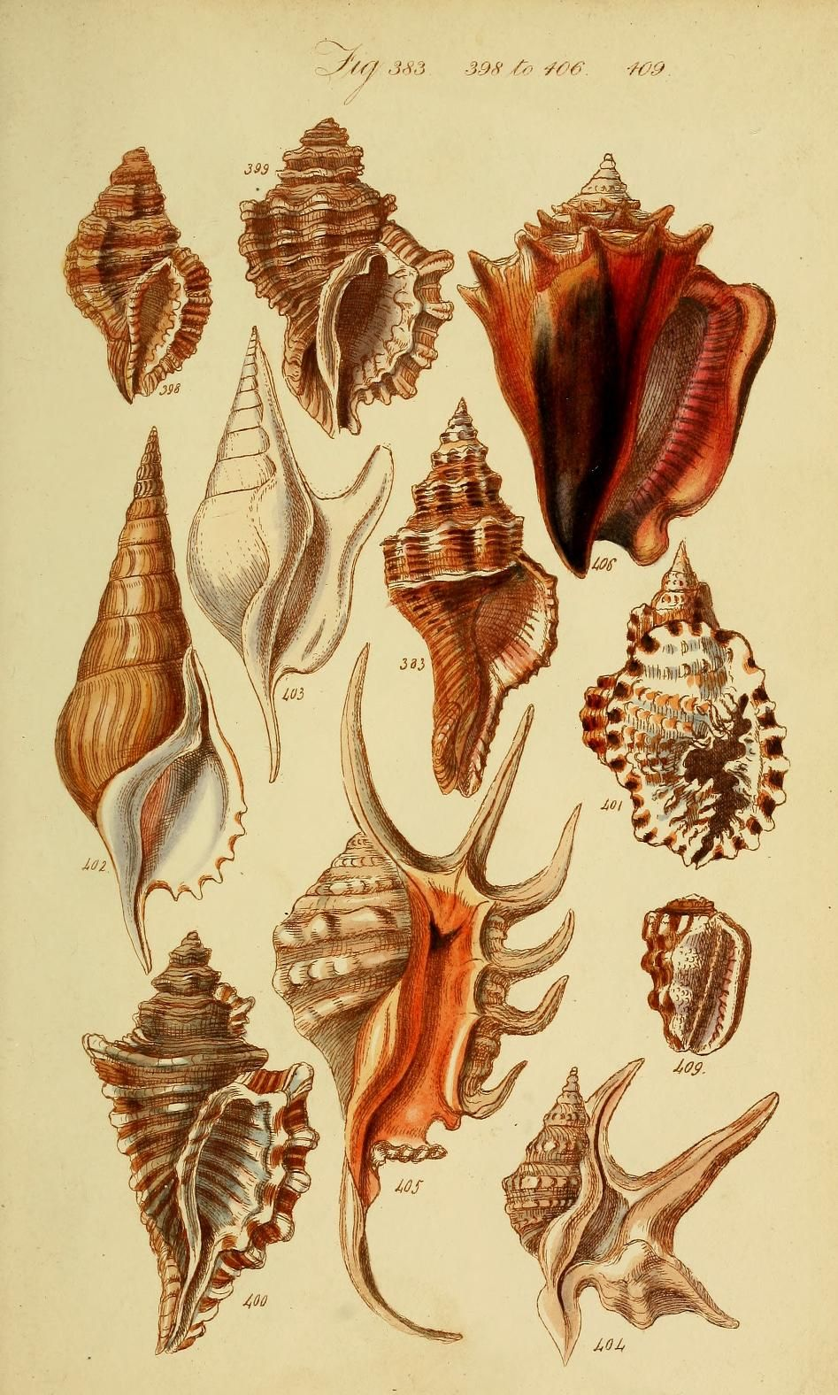 A Conchological Manual First Edition