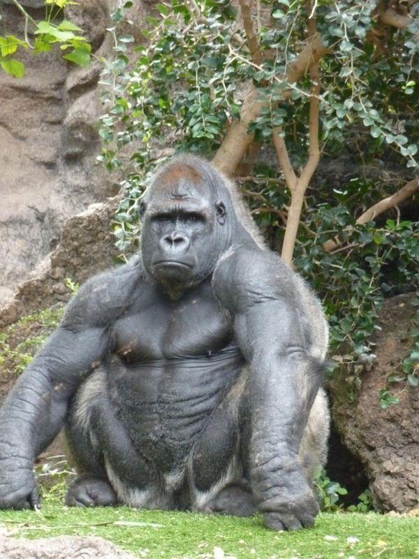 Image result for gorilla vs  human size photo | Animals