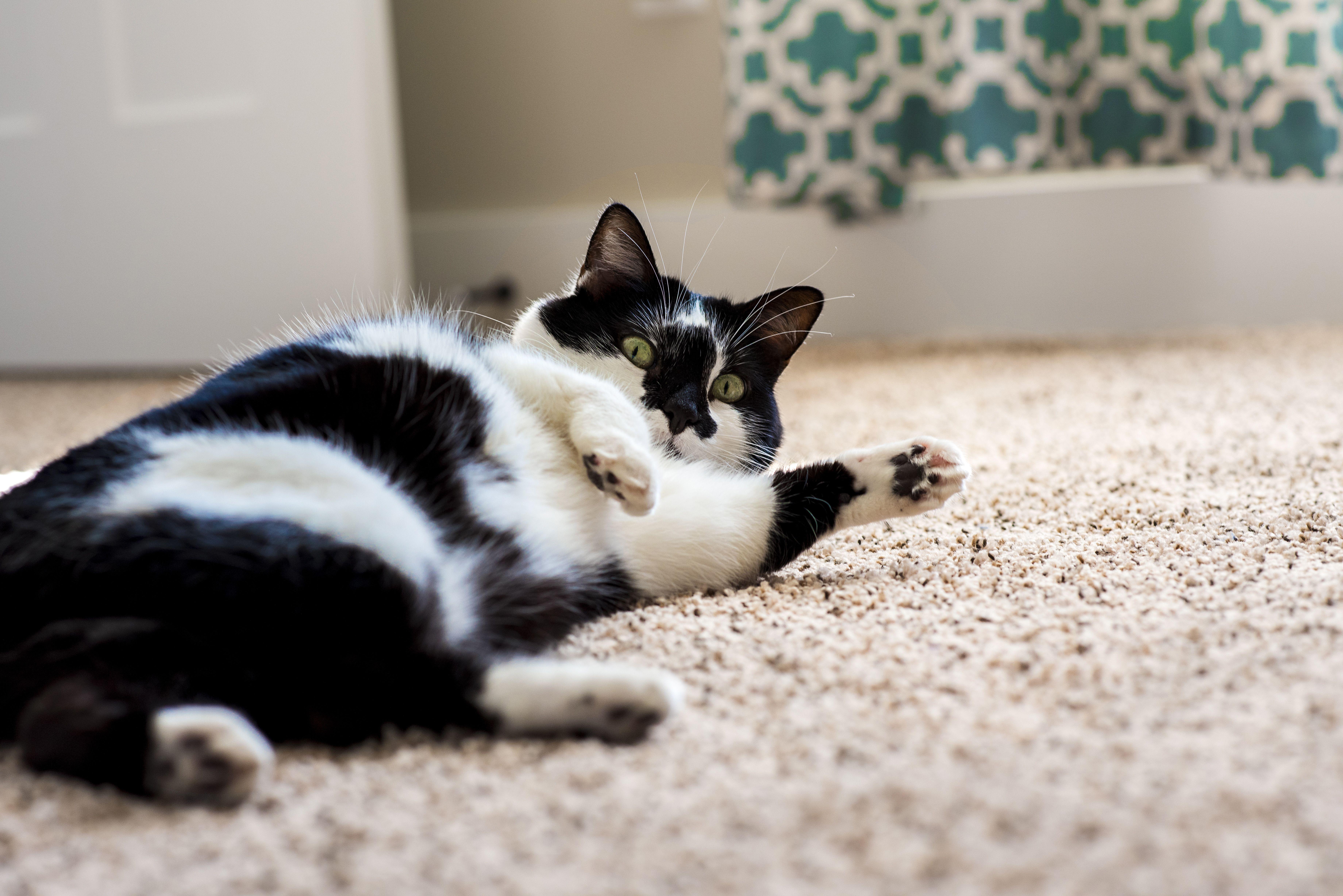 FancyFig Portraiture by AB. Wichita, Kansas photographer. lifestyle photos. kitty cat.