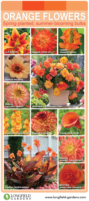 Spring Planted Summer Blooming Flower Bulbs In Beautiful Tones Of