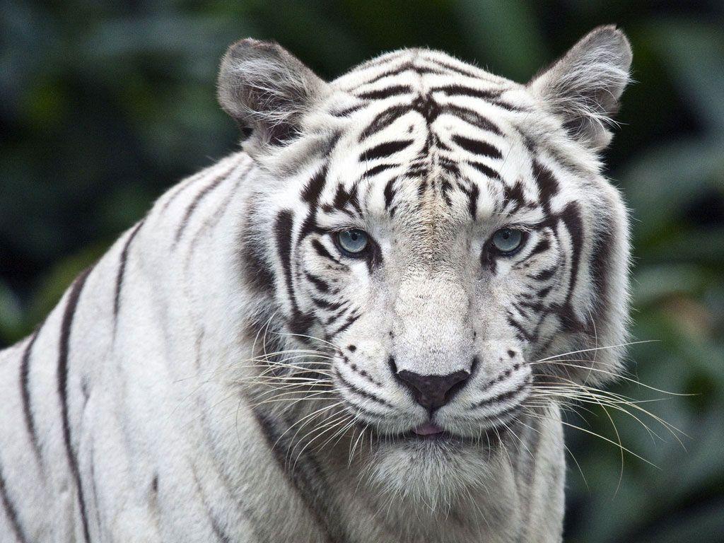 Papel De Parede Tigre Branco Tigre Branco Imagem De Tigre