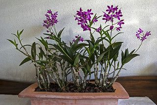 Dendrobium Kingianum Berry Oda Orchids Beautiful Orchids Plants