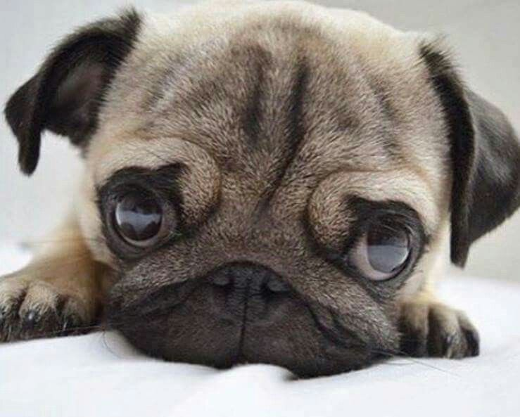 Baby Pug | Pugs | Pinterest | Baby pugs, Fur babies and Babies