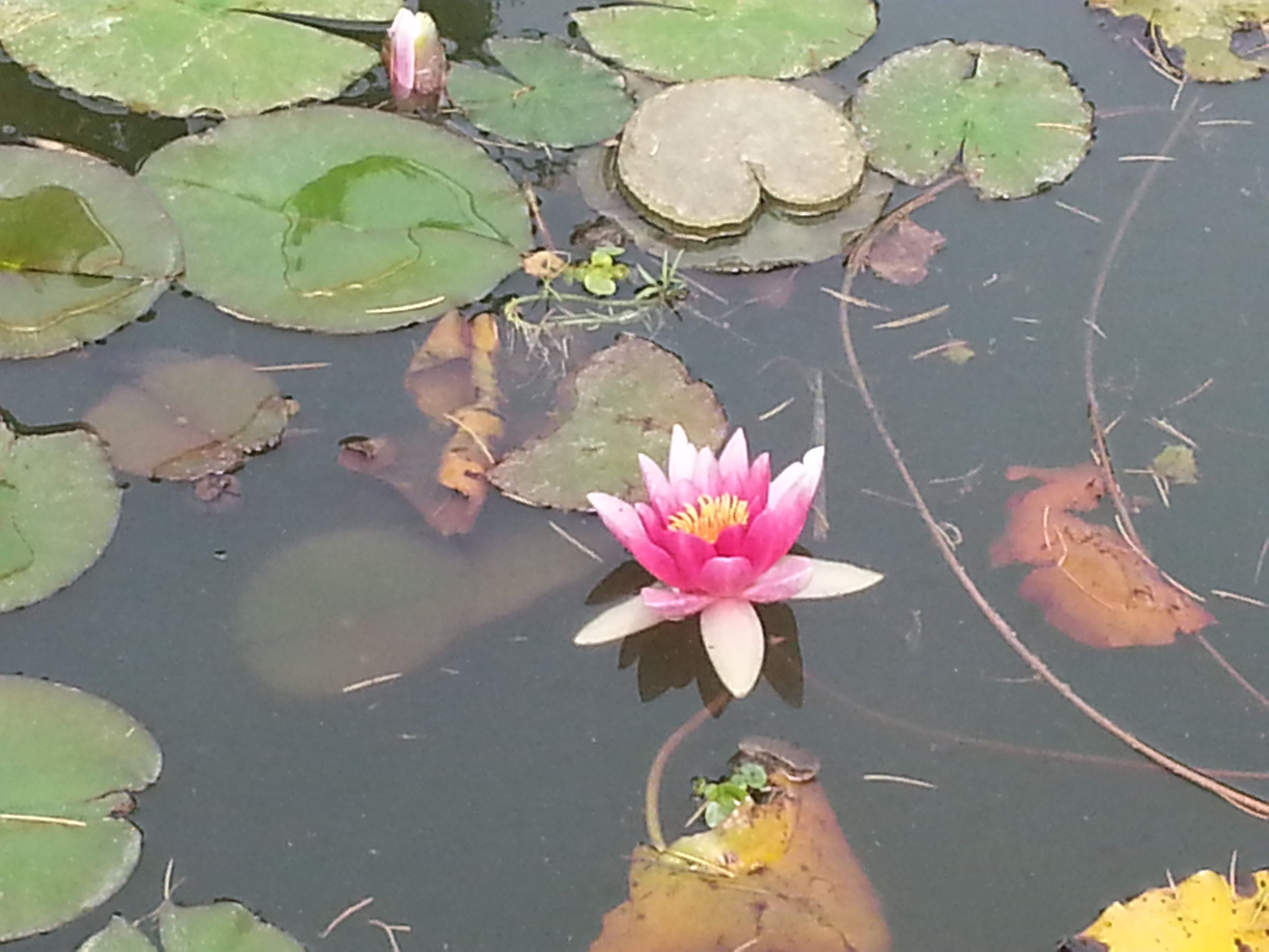 Lotus flower rebirth the great force travels images pinterest lotus flower rebirth the great force mightylinksfo