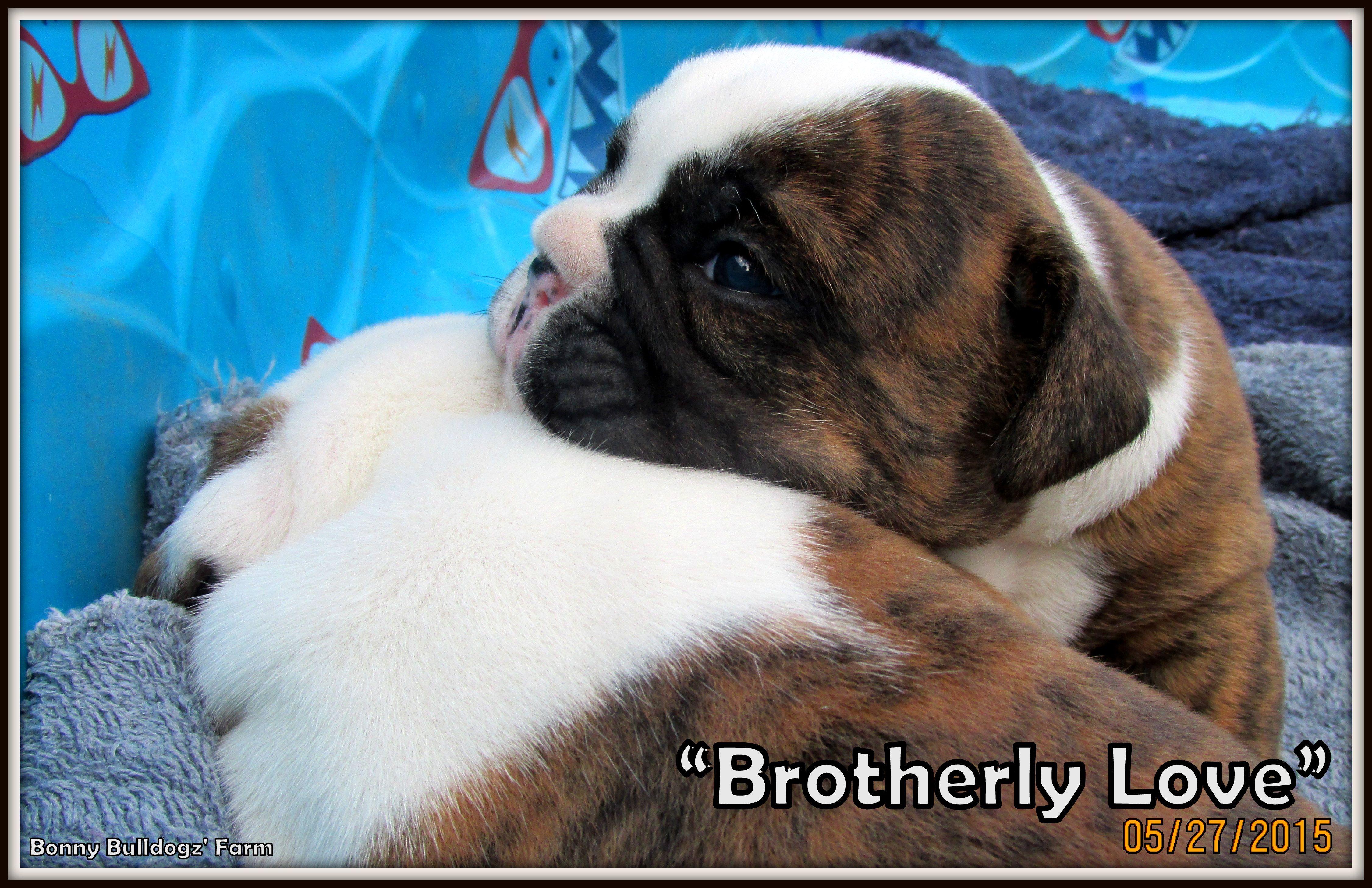 """Brotherly LoVe"" Bonny Bulldogz' Farm's Newest Litter"