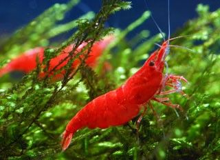 Instead Of Bettas Or Goldfish Red Cherry Shrimp Might Be An Alternative Aquatic Pet Choice That M Freshwater Aquarium Shrimp Cherry Shrimp Freshwater Aquarium