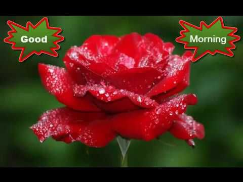 Good morning wishes whatsapp video greetings animation - Good morning rose image ...