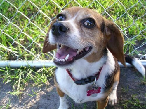 8 Different Types Of Beagles You Should To Know Cute Beagles