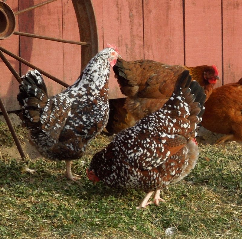Rare And Fancy Chickens Triple Spring Acres Speckled