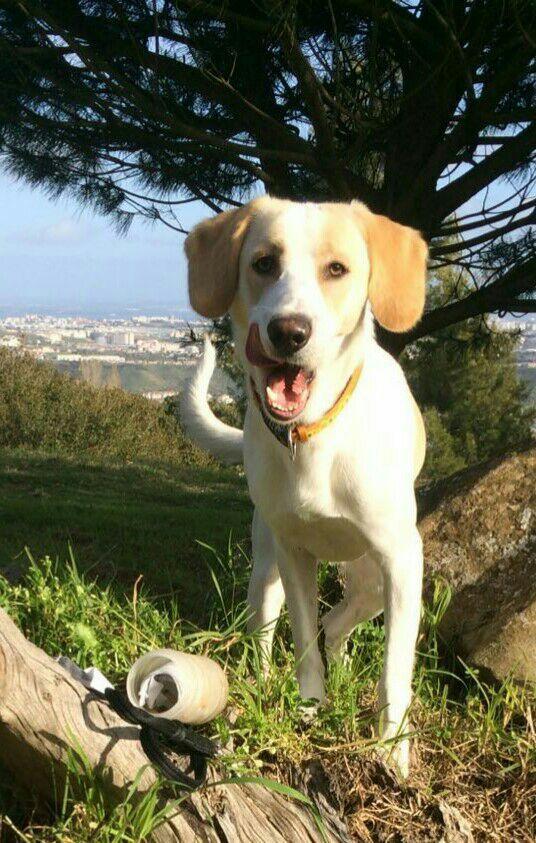 Pluto Beagle Pawshake Brussels Hondenspullen Honden